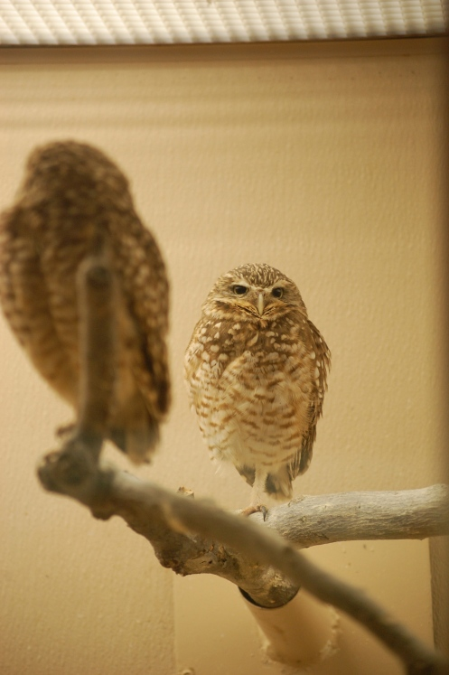 Burrowing Owls at the DC Zoo