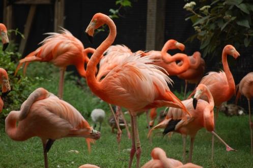Flamingos posing
